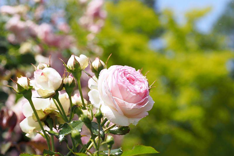 花の文化園のローズ・ガーデンも咲き始めたようです。